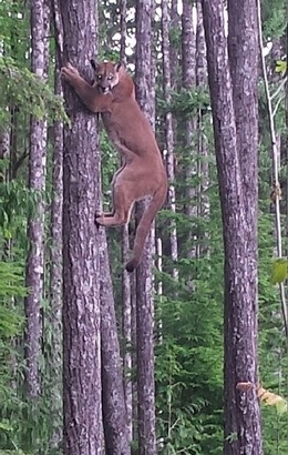 The-Treed-Cougar