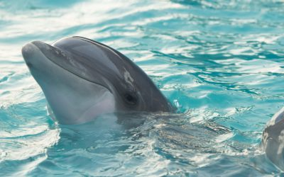 Harvesting Dolphin – The Making of a  Remedy
