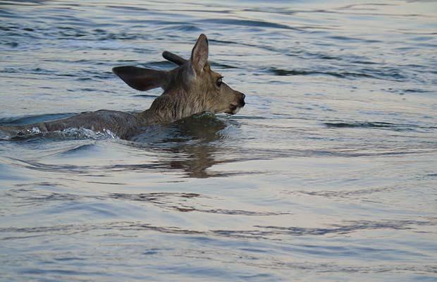 The Intrepid Deer